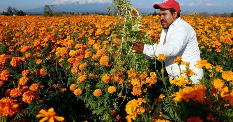 Lista producción de flor de cempasúchil en Morelos