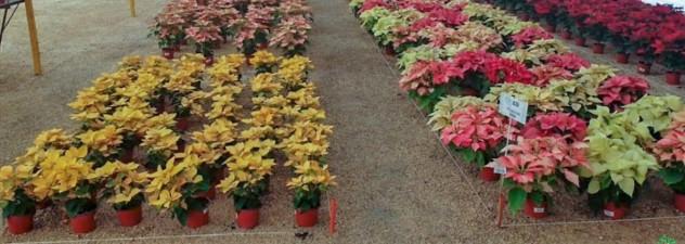 Listo Morelos para fiestas decembrinas, con 17 millones de flor de Nochebuena