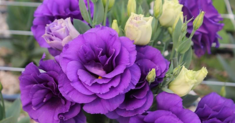 Promueve Sedagro producción de flores de ornato