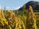 Vigila Sedagro cultivos ante bajas temperaturas